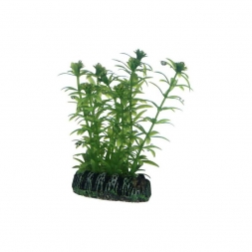 Dohse Lagarosiphon      7 cm